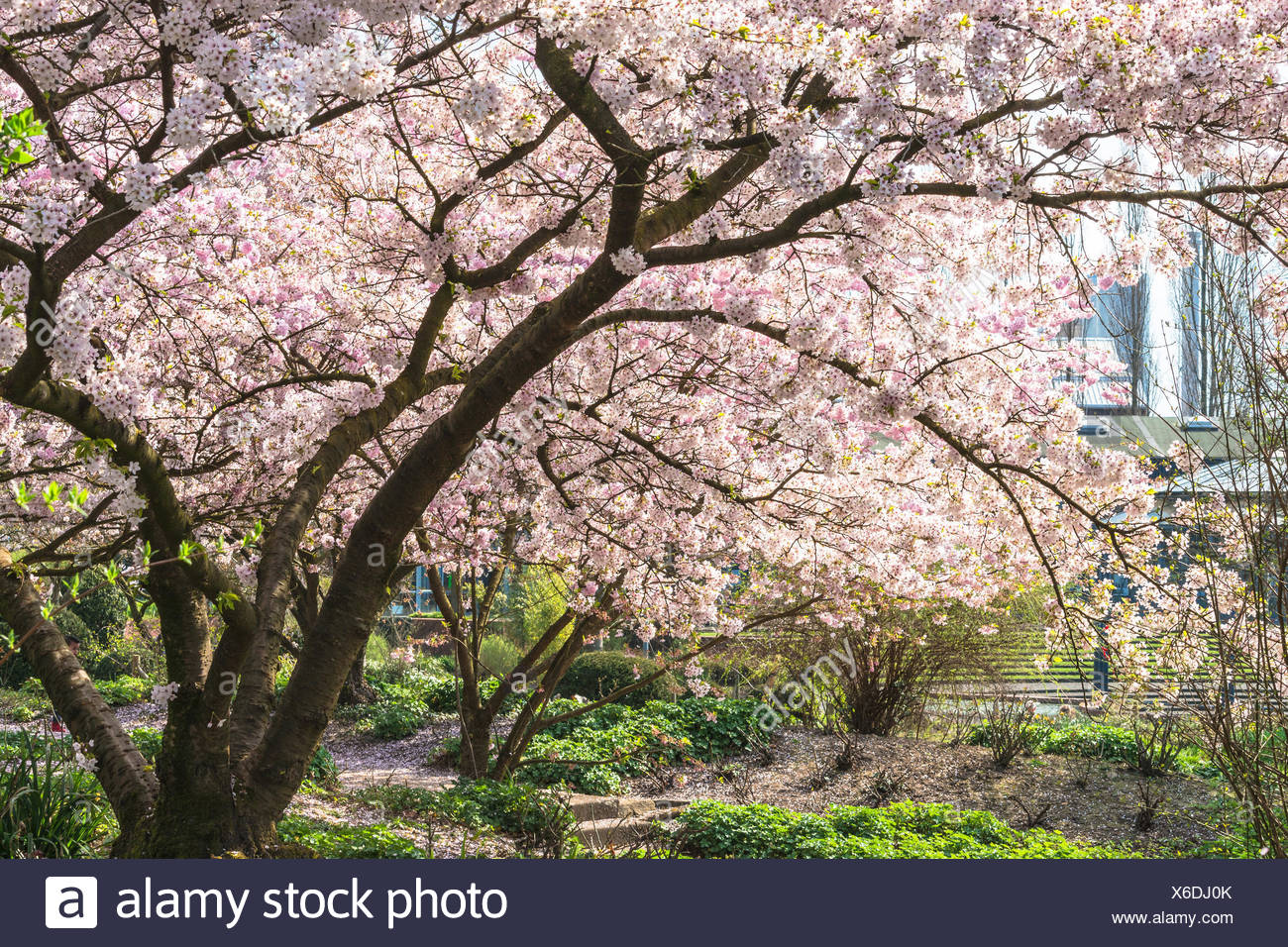 Rosa Baumblüten im Frühling vor blauen Himmel. Stock Photo