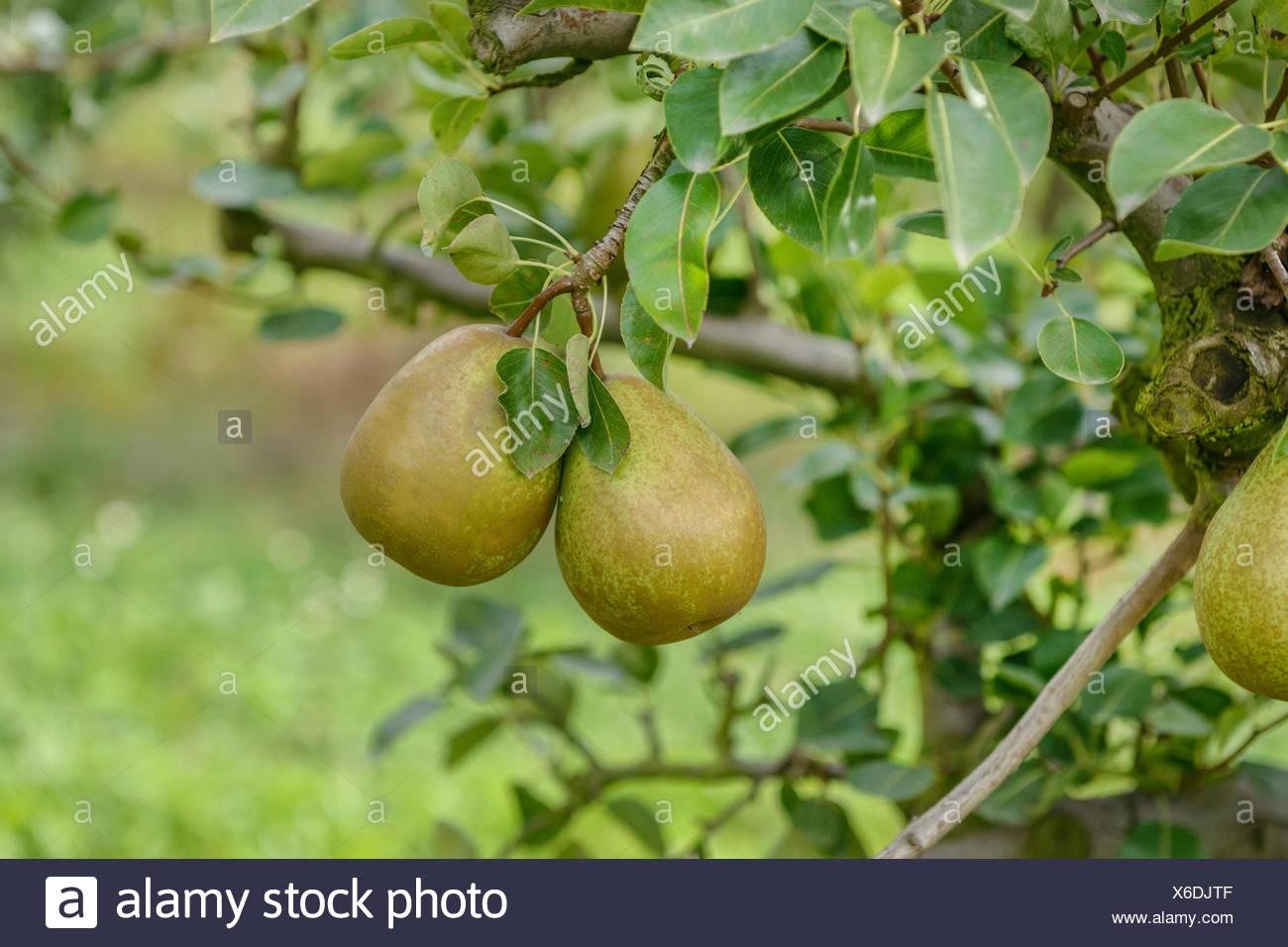 Common pear (Pyrus communis 'Pierre Corneille', Pyrus communis Pierre Corneille), peras on a tree, cultivar Pierre Corneille, Germany - Stock Image