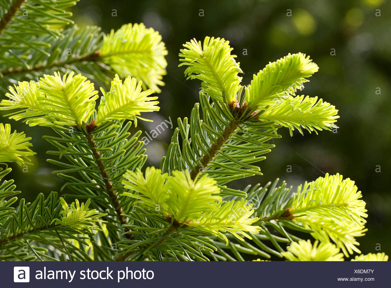 Nordmann Fir, Caucasian Fir, Christmas Tree (Abies nordmanniana), branches with young shoots - Stock Image