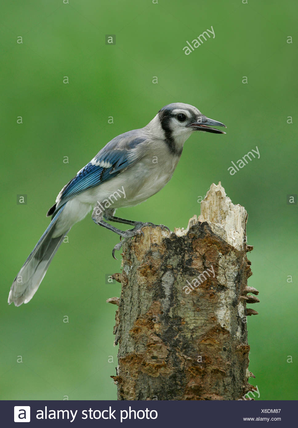 Blue Jay - Cyanocitta cristata - Juvenile Stock Photo