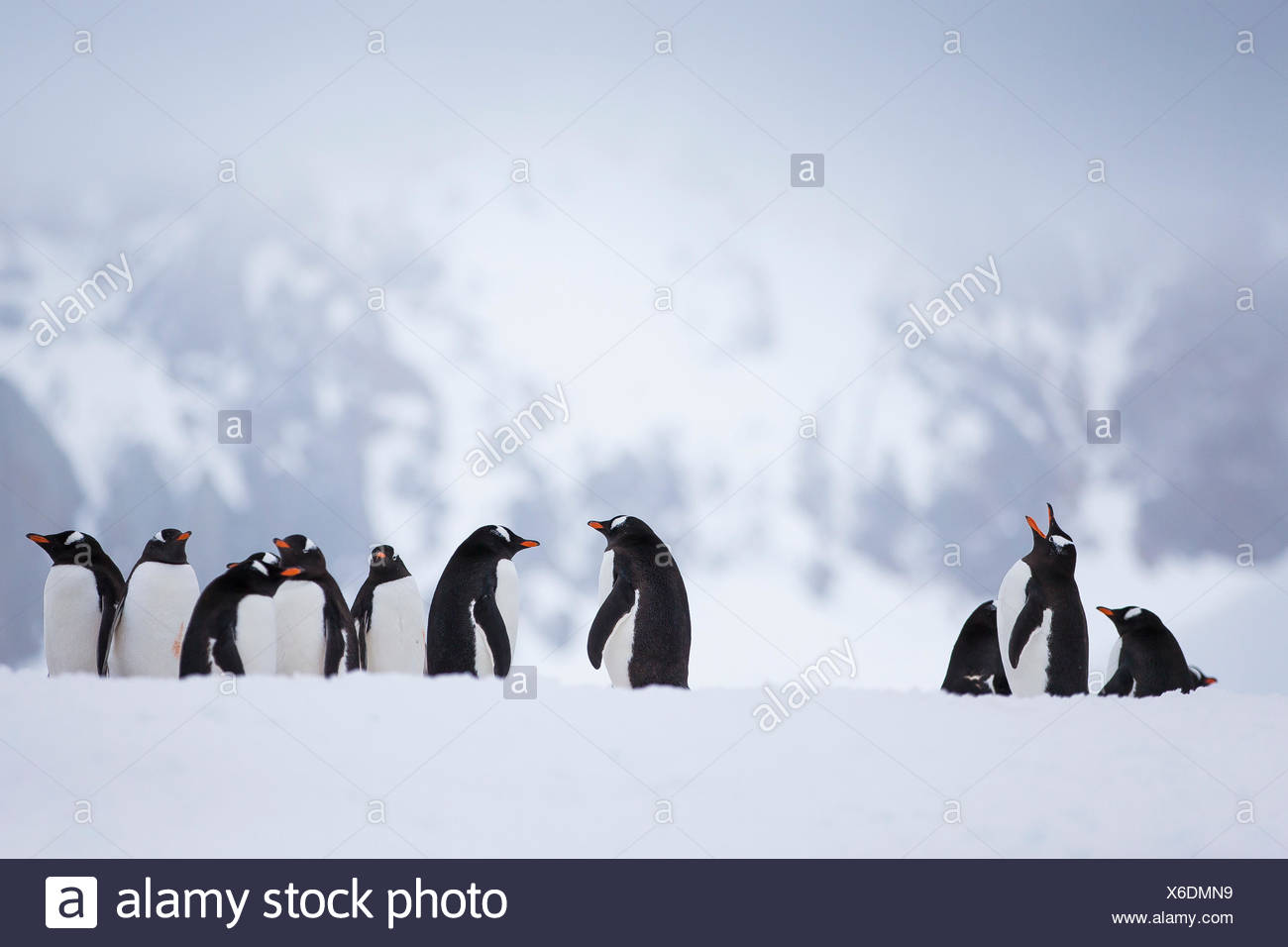 A colony of gentoo penguins in Antarctica. - Stock Image