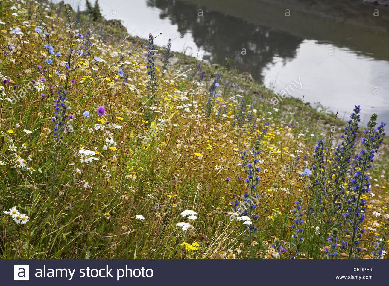 Wild flowers at the Emscher, Essen, Germany - Stock Image