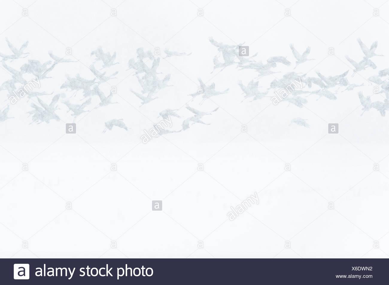 cranes (grus grus), niedersachsen, germany - Stock Image