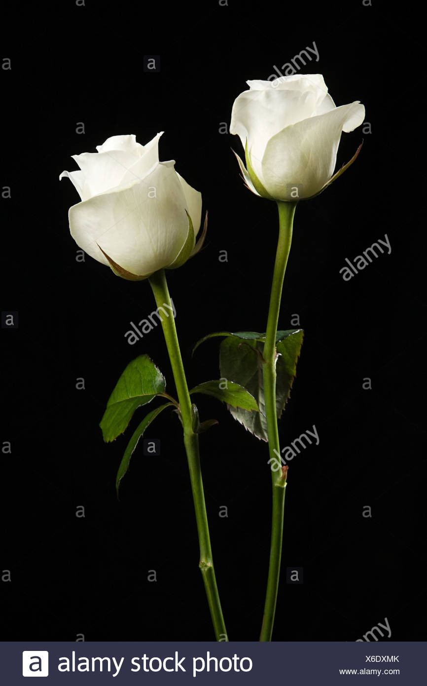 Two white roses - Stock Image