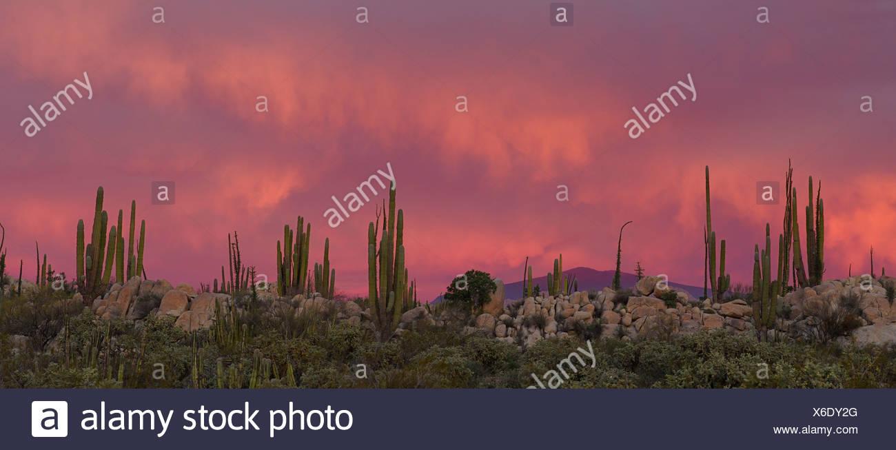 Mexico Catavinia Baja California Near Catavinia Boojum Tree Fouquieria Columnaris Cirio Plant Plants Nature Vegetation Desert - Stock Image