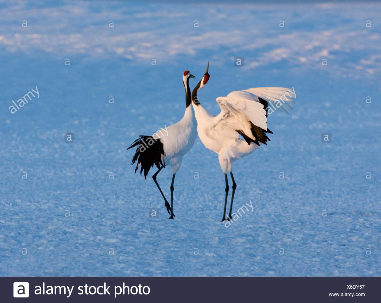 Red-Crowned Crane, Hokkaido Island, Japan - Stock Image