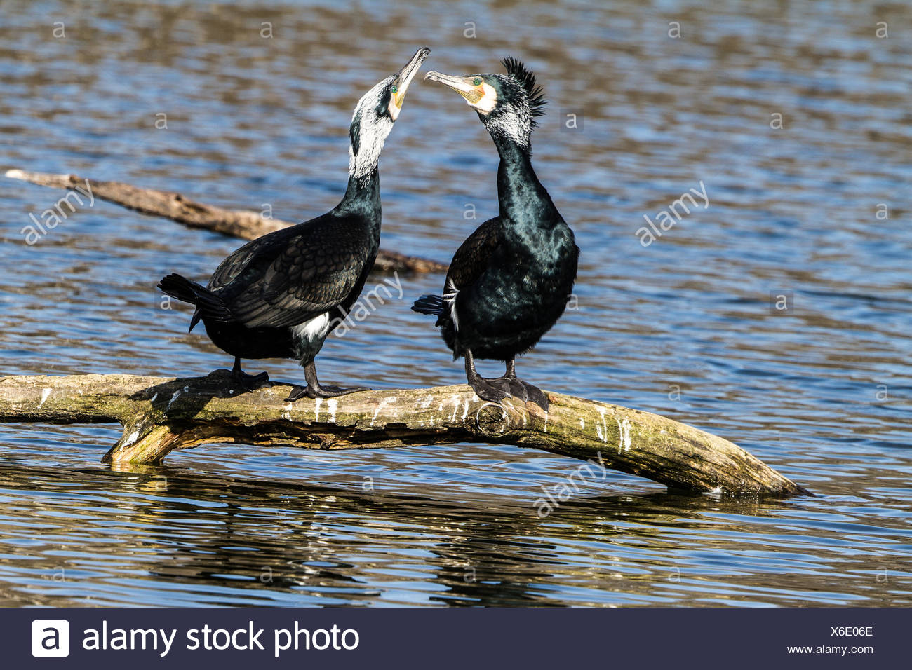Mating Cormorants - Stock Image