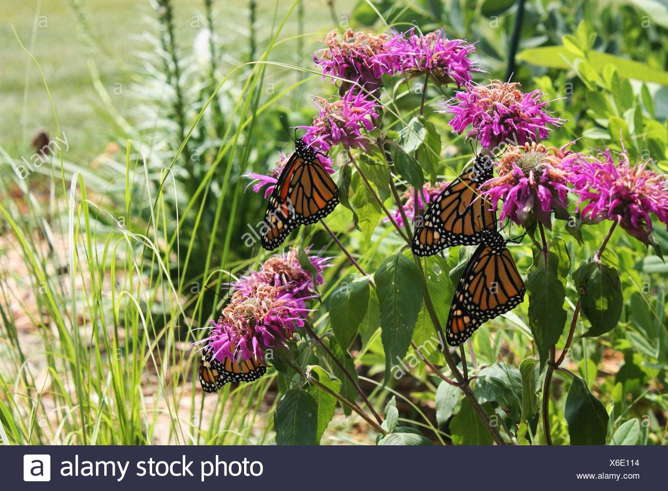 Close up of four Monarch butterflies resting on Bee balm in a garden in Trevor, Wisconsin, USA. - Stock Image