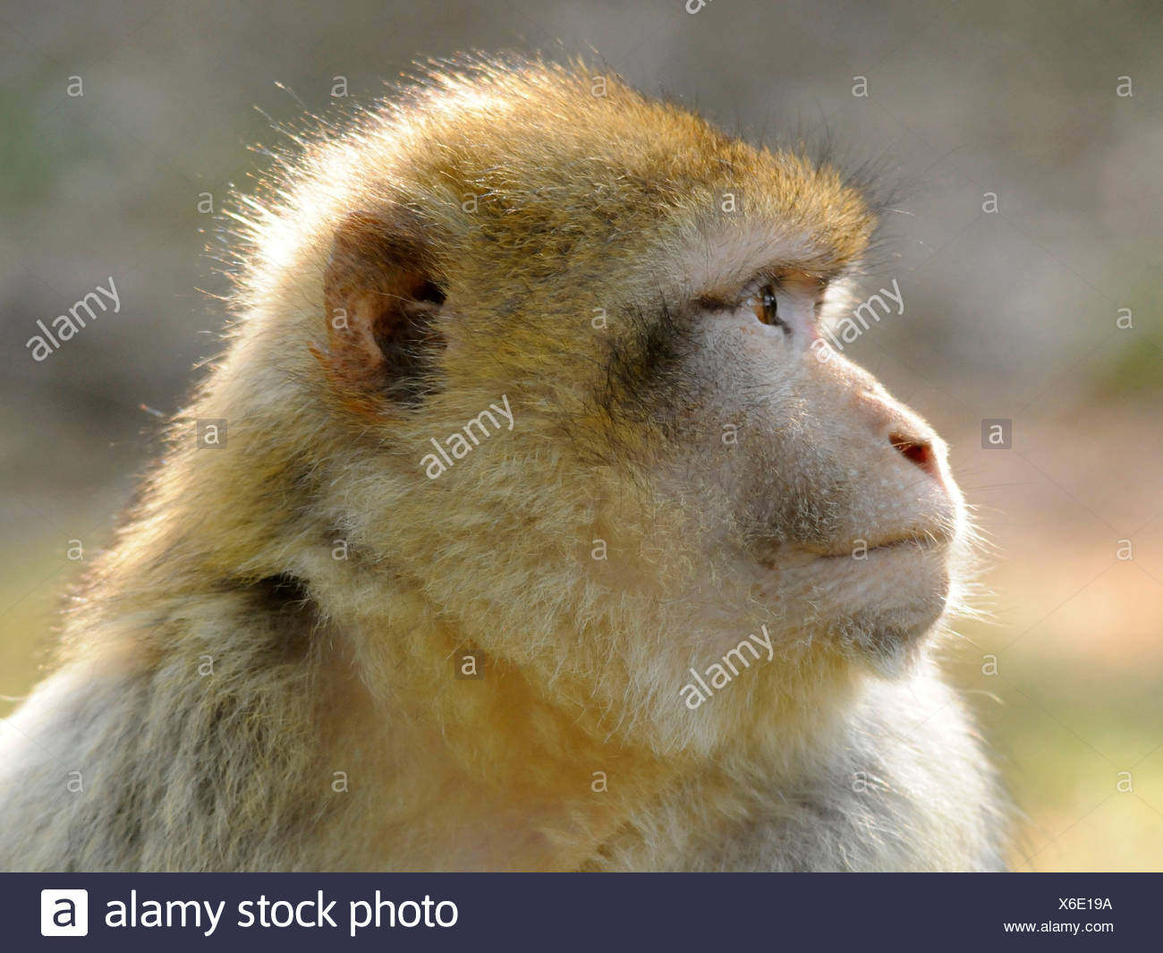 The face of a Barbary Ape also known as Macaque Silvanus. - Stock Image