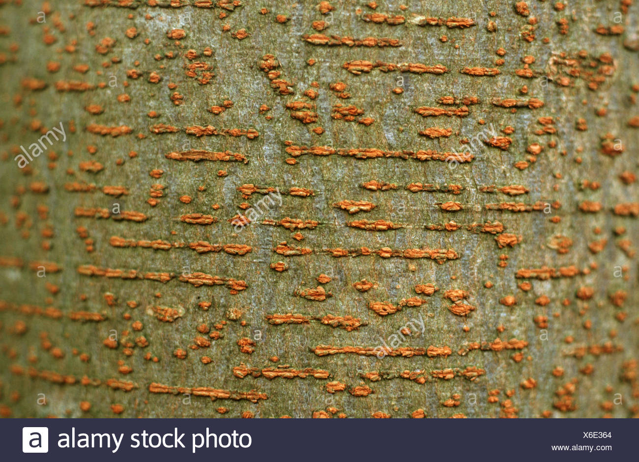 Japanese zelkova (Zelkova serrata, Zelkova acuminata, Zelkova hirta, Zelkova keaki ), bark - Stock Image