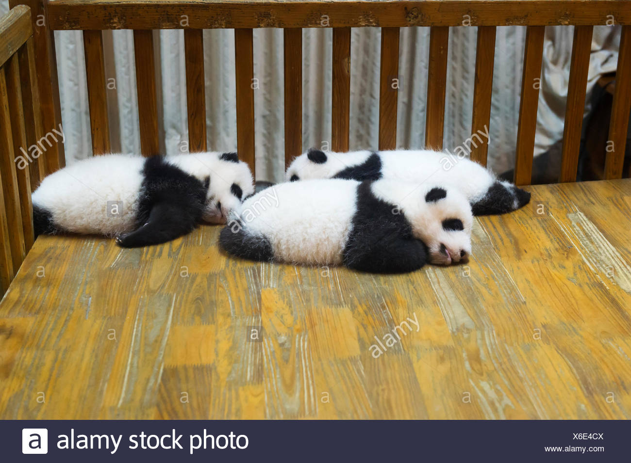 Baby Pandas (Ailuropoda melanoleuca) in the Chengdu Giant Panda Breeding Center China Conservation and Research Centre for the Giant Pandas Chengdu Sichuan China - Stock Image