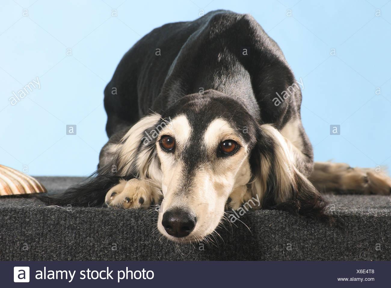 Saluki dog - lying - cut out Stock Photo
