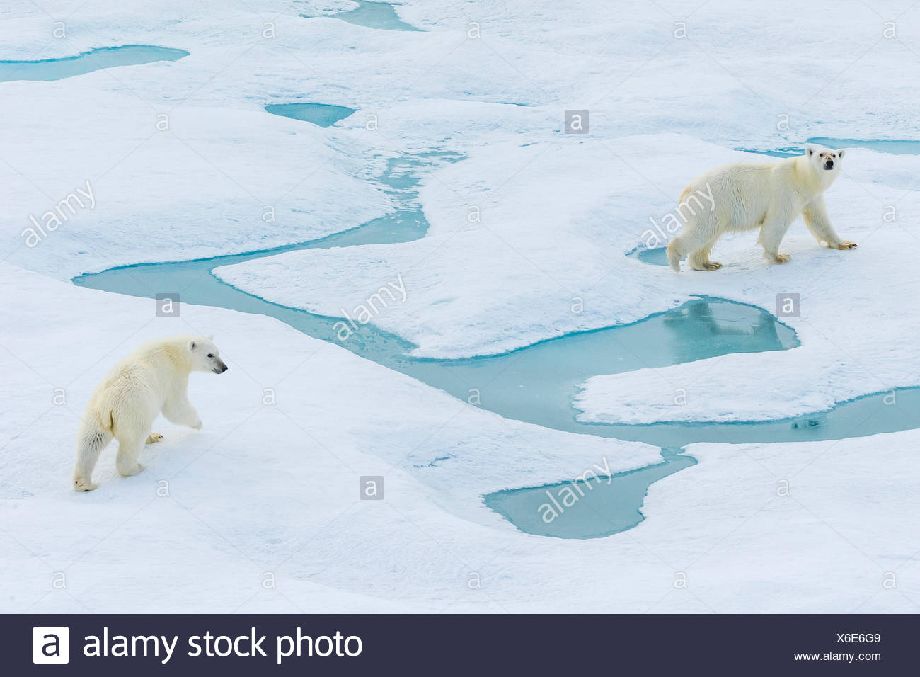 Mother and cub, polar bears (Ursus maritimus) wander across pack ice in the Canadian Arctic. - Stock Image