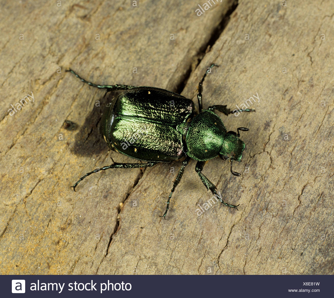 A chafer Gnorimus nobilis rare and considered to be vulnerable in the UK - Stock Image