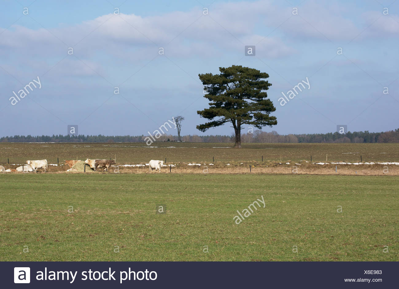 Pine and cows - Stock Image
