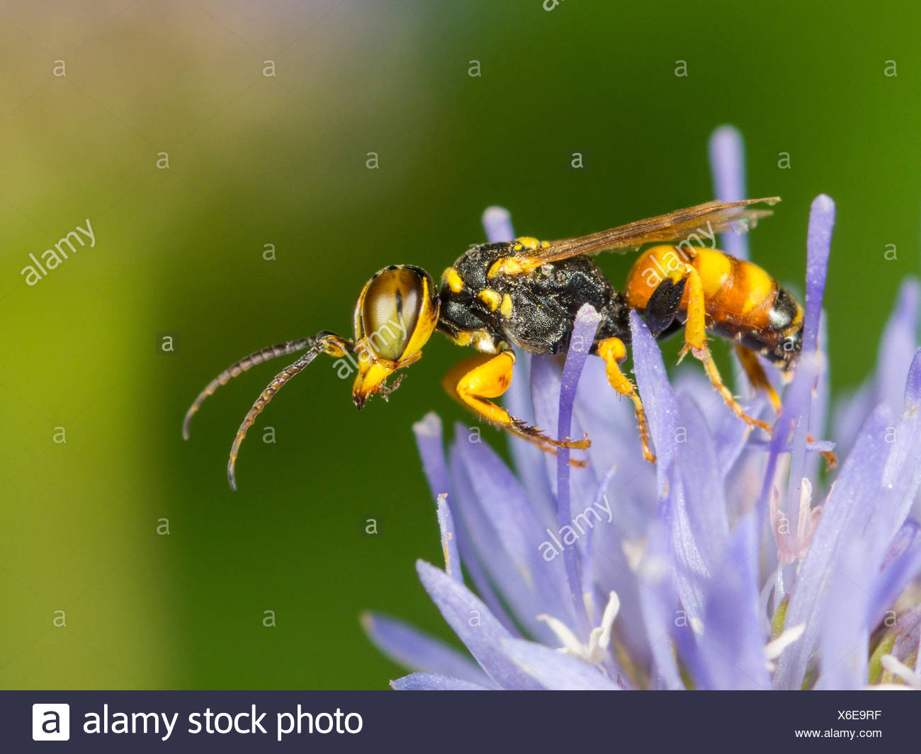 digger wasp (Dinetus pictus), Male on Sheep�s Bit Scabious (Jasione montana), Germany - Stock Image