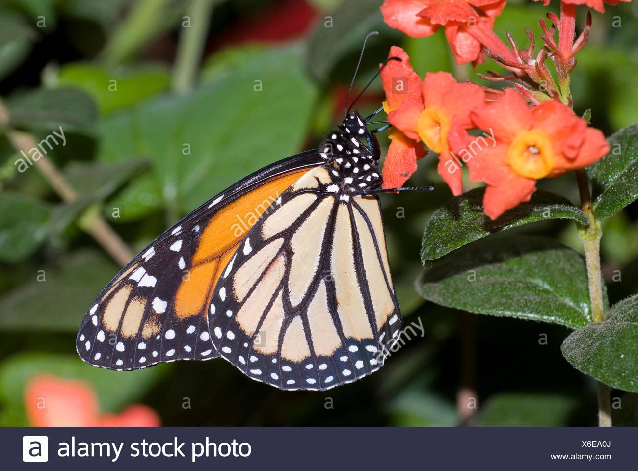monarch butterfly, milkweed (Danaus plexippus), sitting on a flower - Stock Image