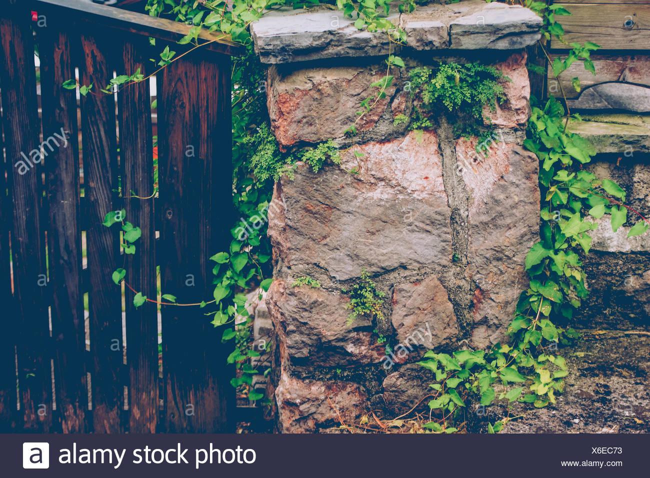 Gate, wall, plant, Russianvine - Stock Image