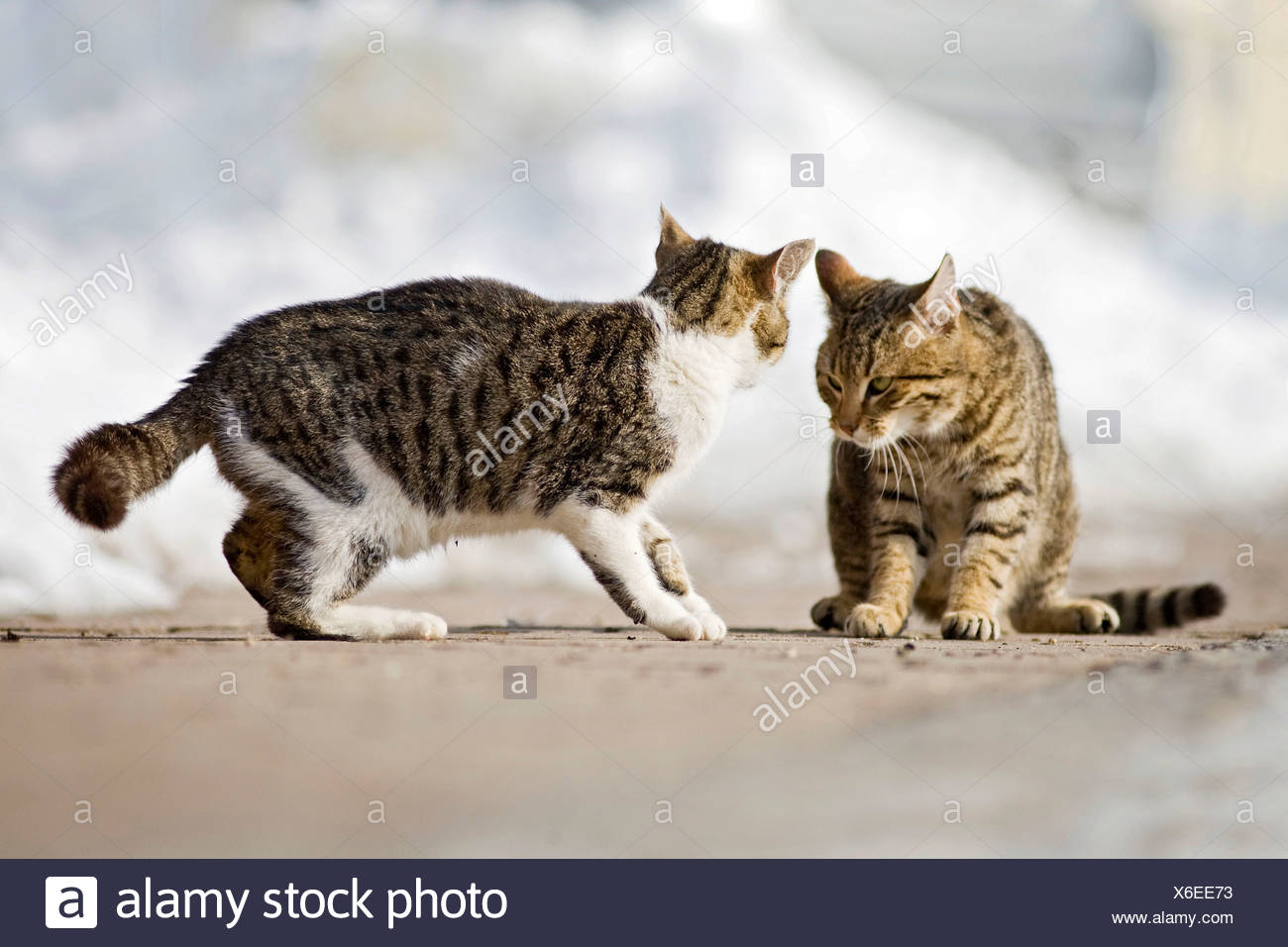 Two young tabby tomcats in a territorial fight in the snow, Satteldorf, Hohenlohe, Baden-Württemberg, Germany - Stock Image