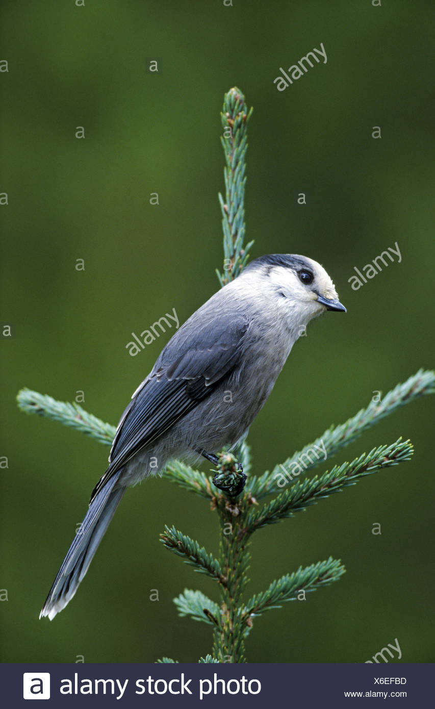 Camp Robber sits on a spruce tree - Stock Image