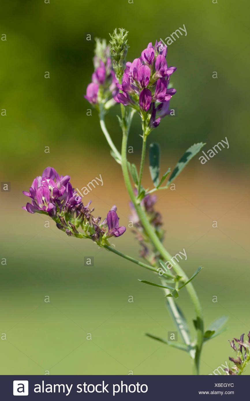 Lucerne (Medicago sativa), blooming - Stock Image