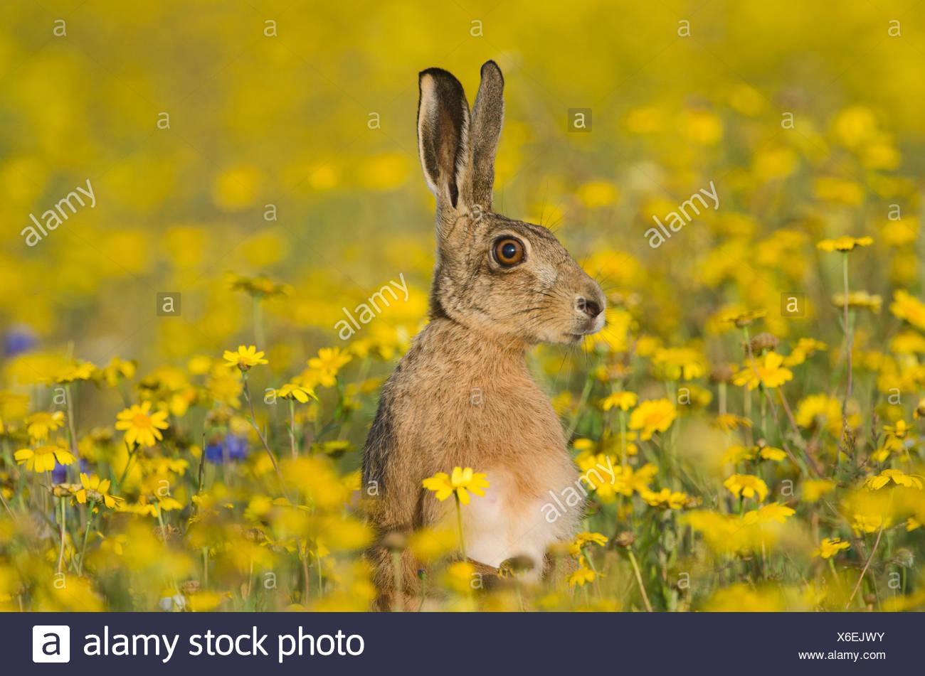 Brown Hare Lepus europaeus alert in flower meadow Norfolk summer Stock Photo
