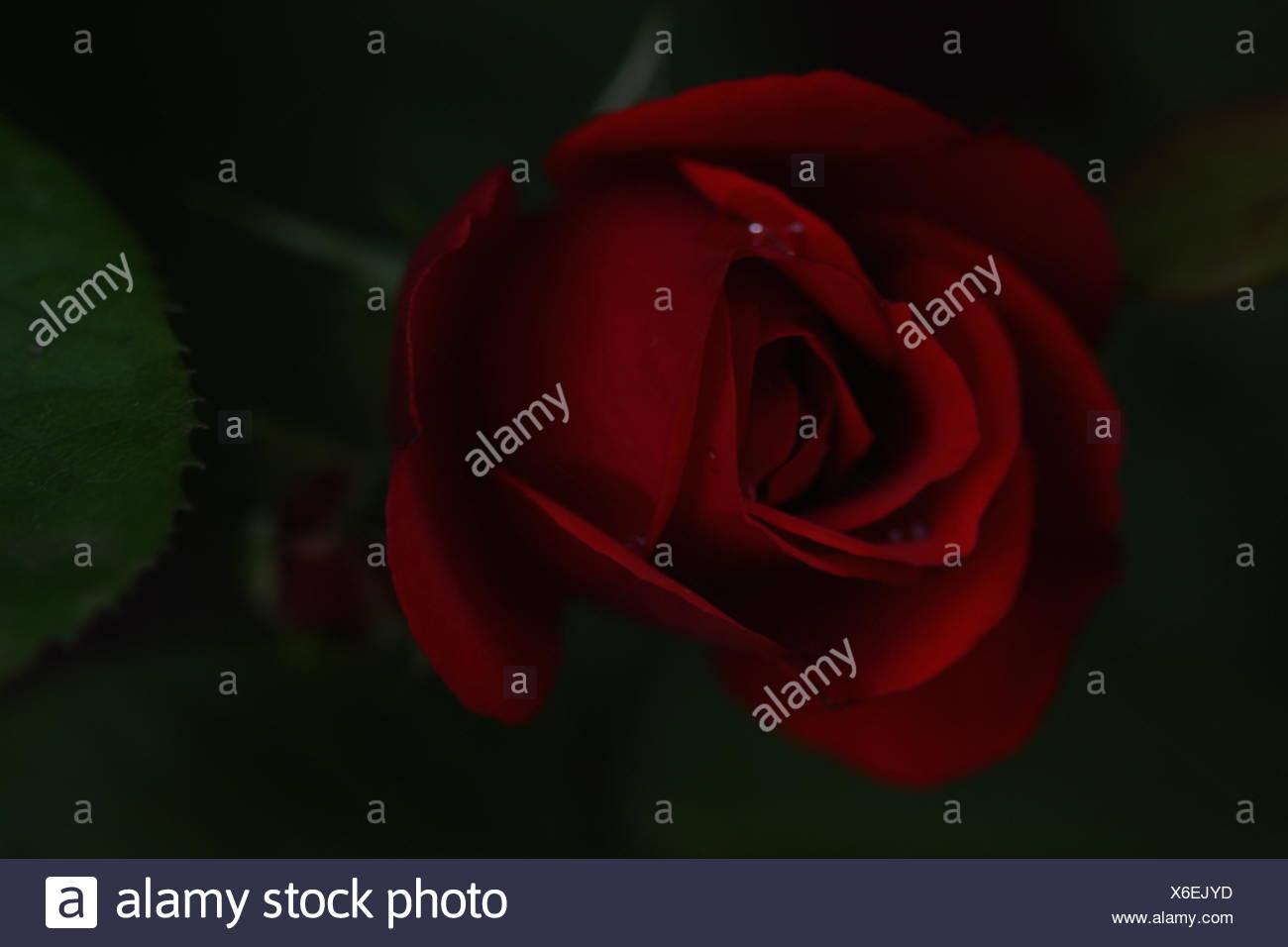 Dark Studioshot Of Rose Flower Head - Stock Image