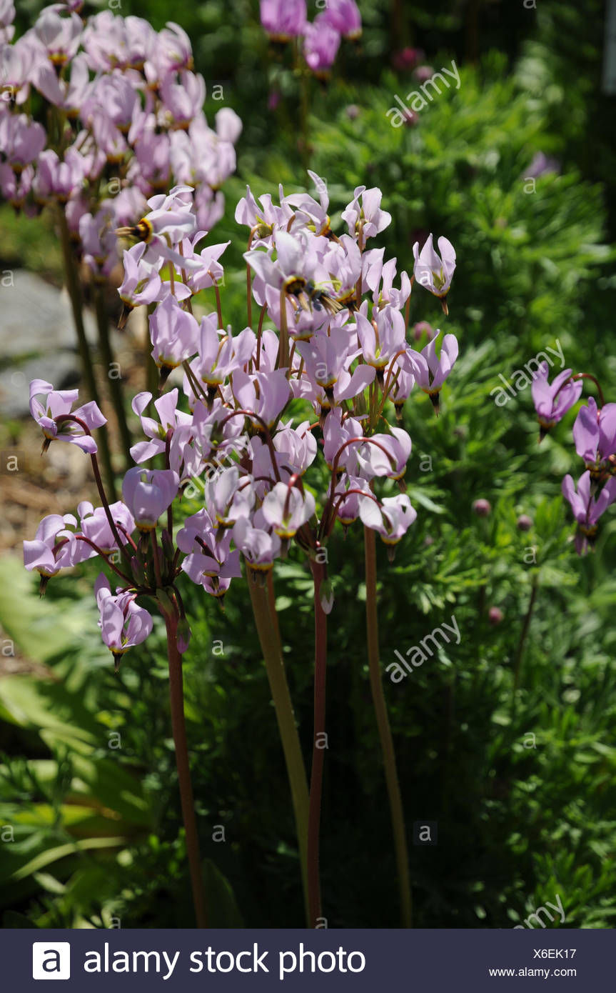 Dodecatheon meadia, Meads shootingstar - Stock Image