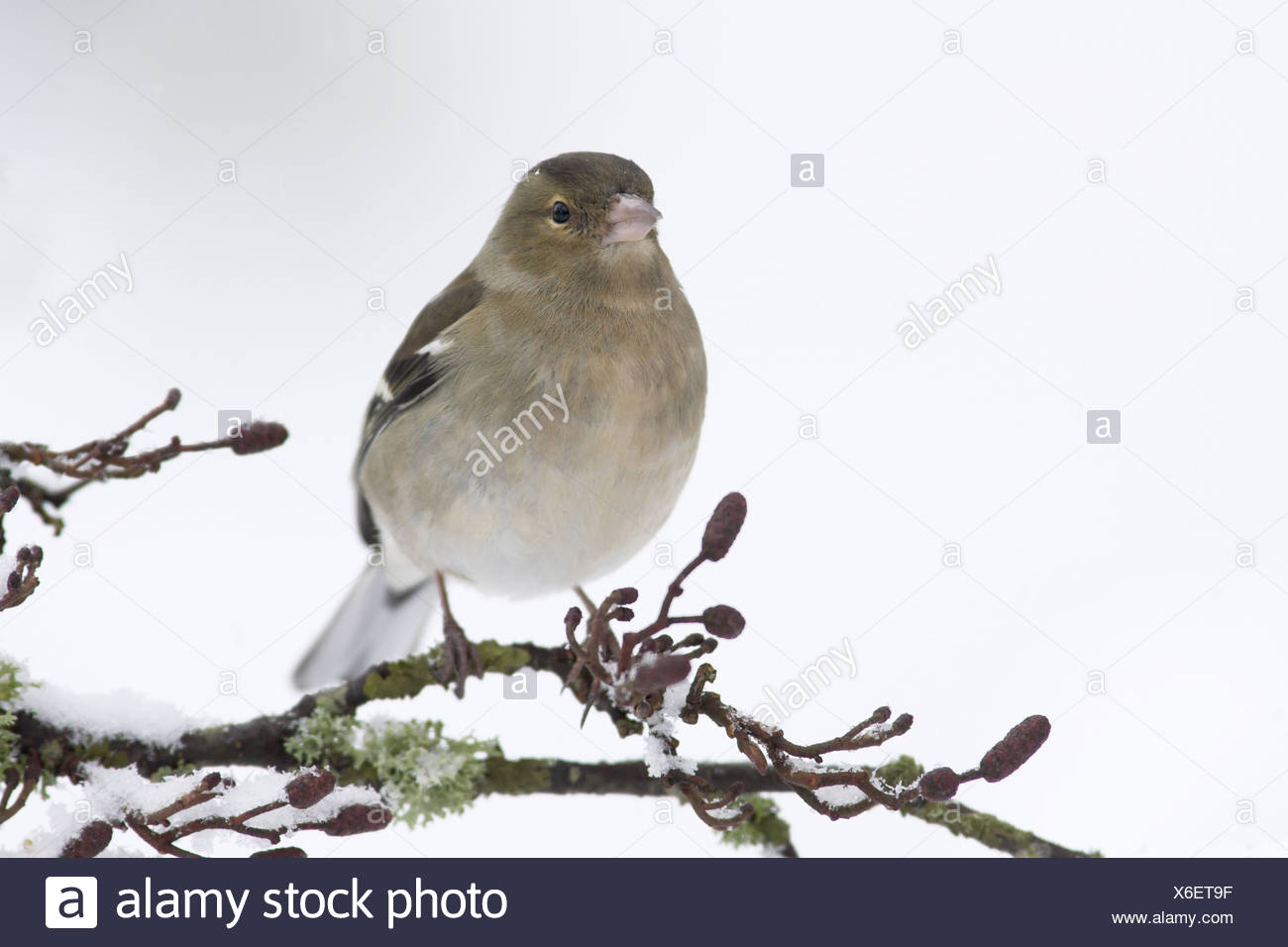 Chaffinch (Fringilla coelebs) adult female, perched on snow covered twig, in garden, Berwickshire, Scotland, winter - Stock Image