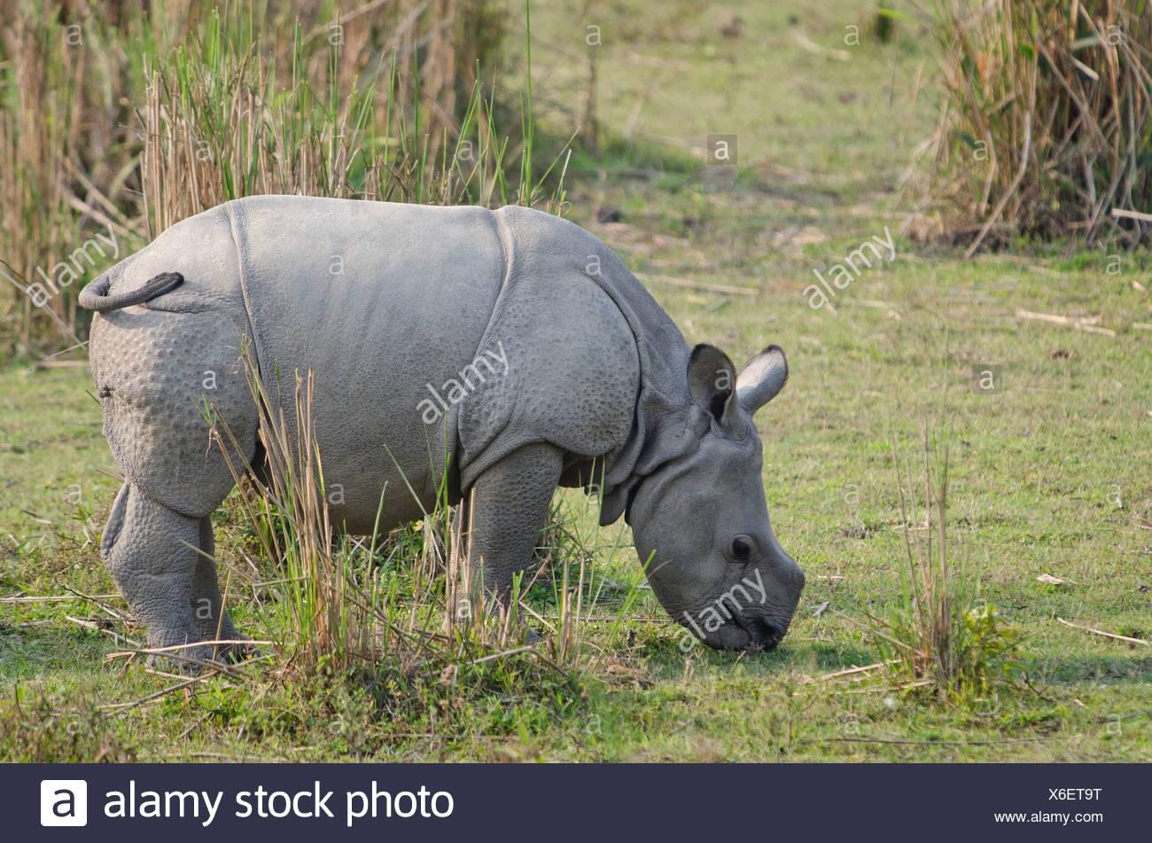 Rhinoceros (Rhinocerotidae), young, Kaziranga National Park, Assam, northeast India, India, Asia - Stock Image