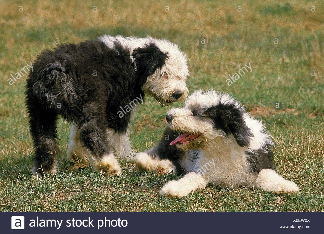 Bobtail Old English Sheepdog Puppy Stock Photos & Bobtail