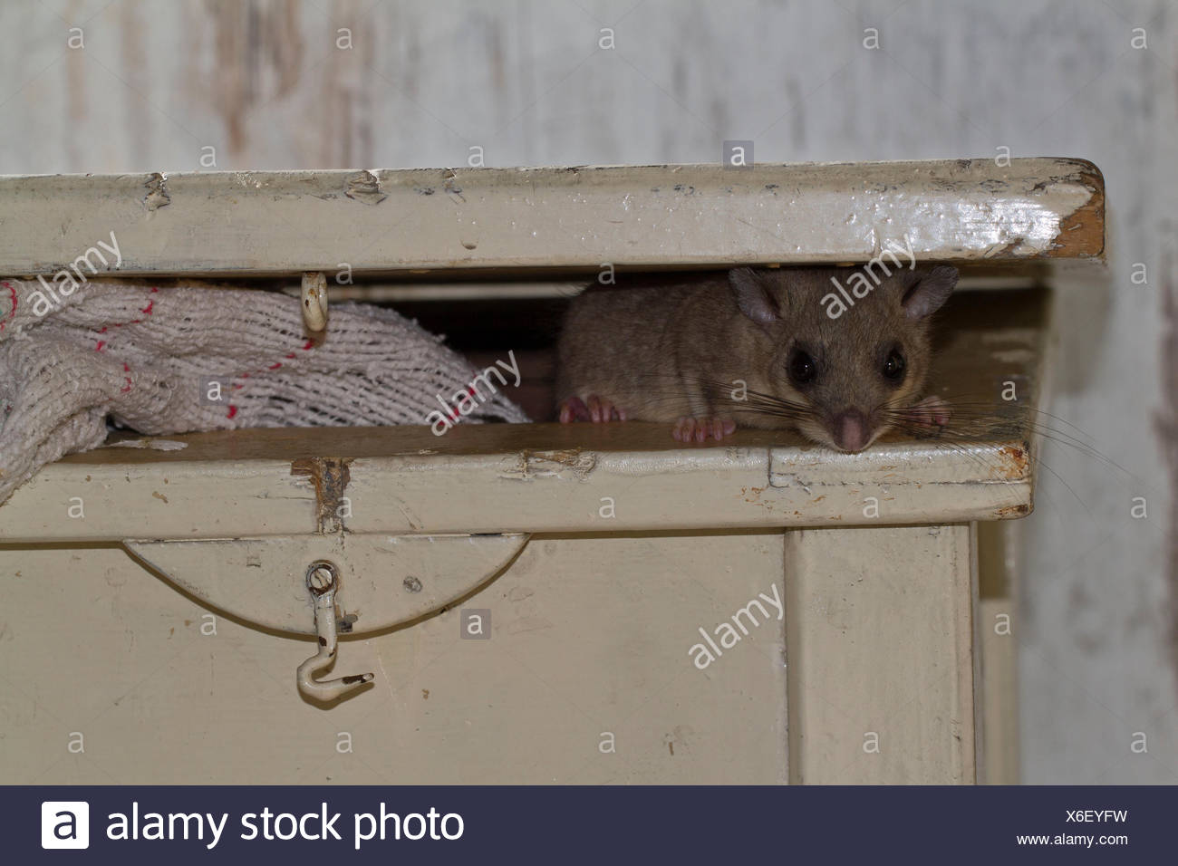 fat dormouse, edible dormouse (Glis glis) looking out of box table, Europe - Stock Image