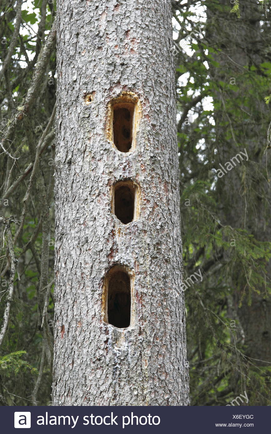 Woodpeckers work in a tree trunk - Stock Image