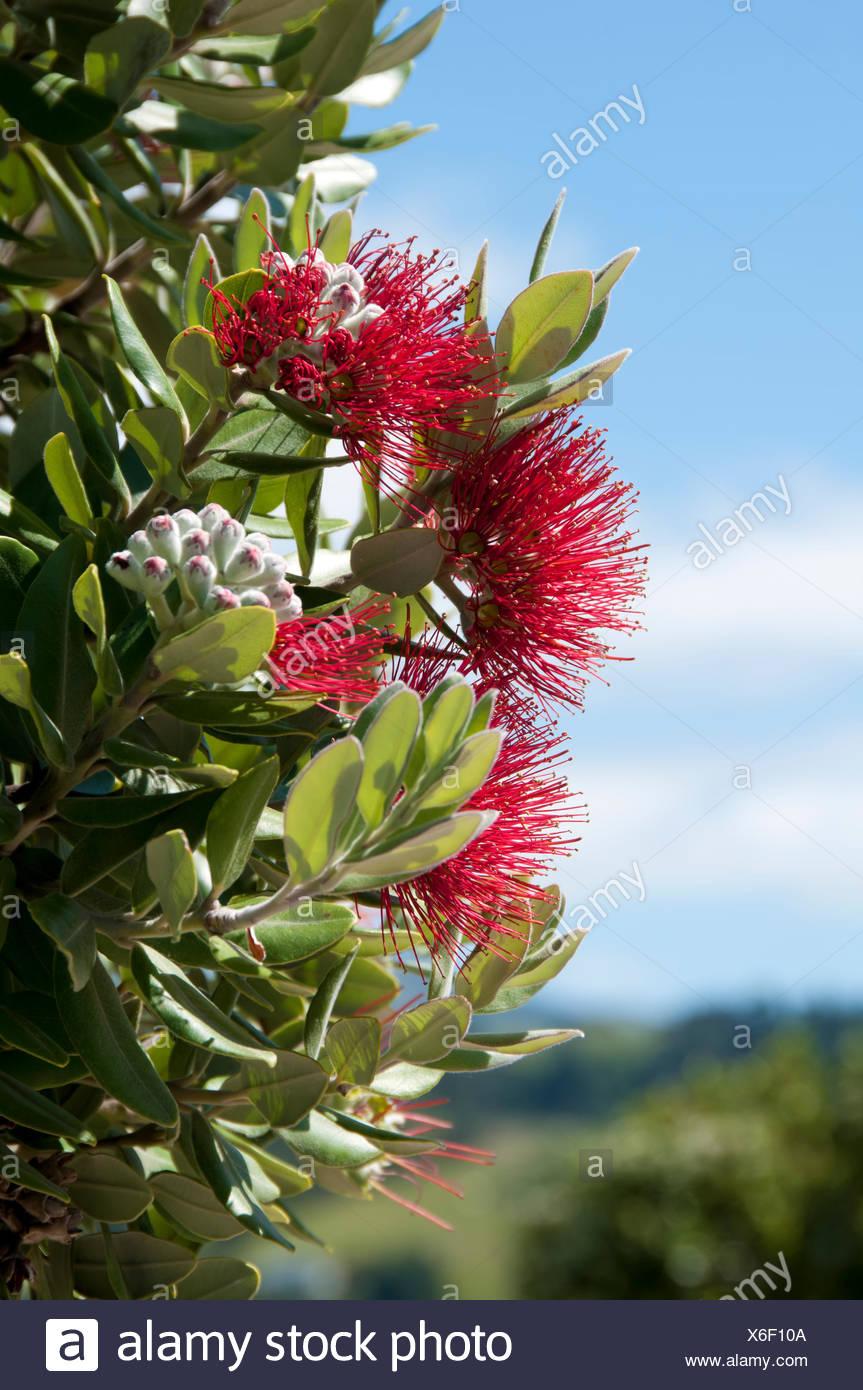 New Botany Blossoms Spring New Zealand Christmas Tree Plants Zealand