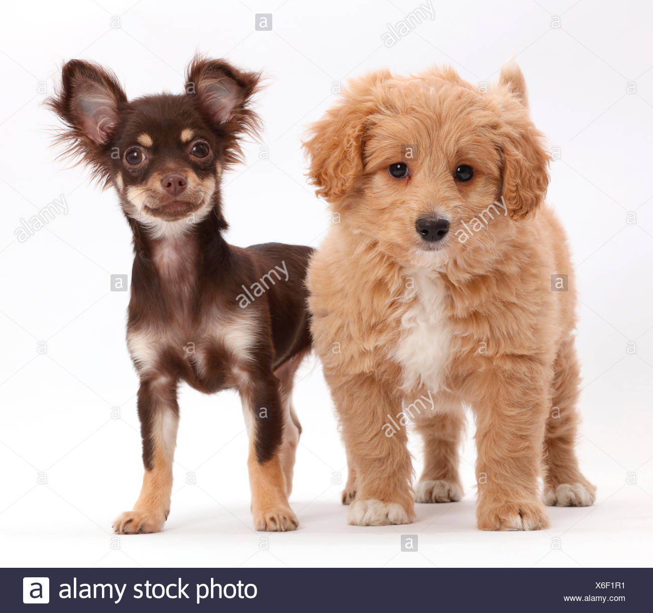 Chocolate And Tan Chihuahua With Cavapoo Puppy Stock Photo Alamy