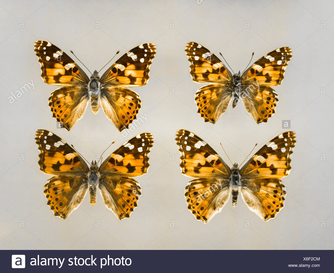 Four brush-footed butterflies Stock Photo
