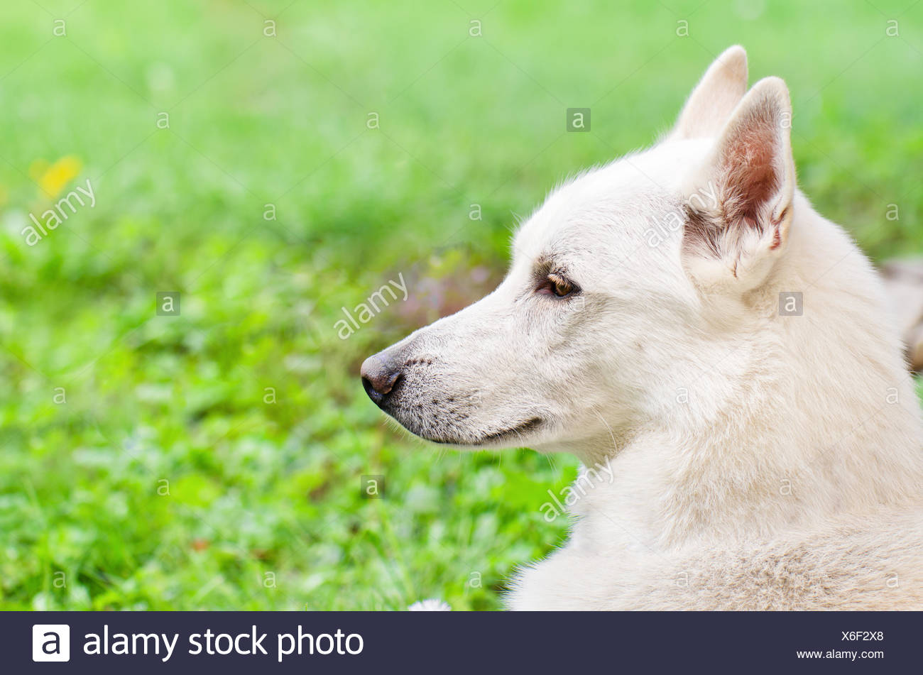 A portrait in profile of a white dog, close-up - Stock Image