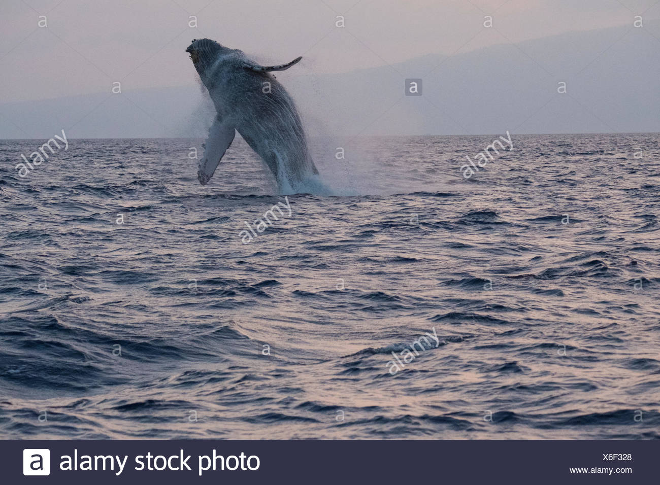 Humpback whale breaching at sunset. - Stock Image