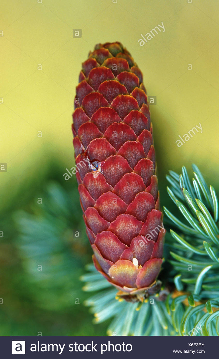 sitka spruce (Picea sitchensis), male cone, USA, Alaska, Lake Clark NP - Stock Image