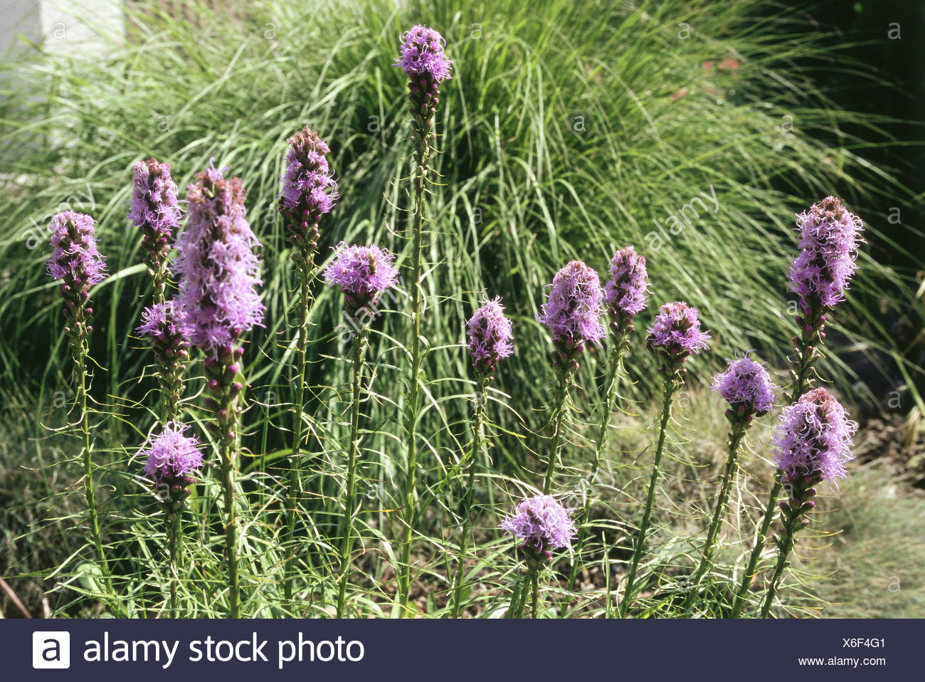 botany, dense blazing star (Liatris spicata), blue flowering, Additional-Rights-Clearance-Info-Not-Available - Stock Image