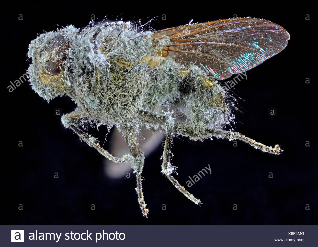 mouldy fly - Stock Image