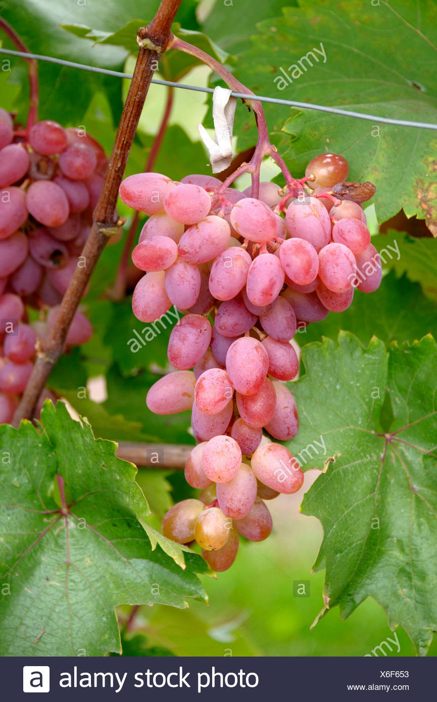 grape-vine, vine (Vitis vinifera 'Katharina', Vitis vinifera Katharina), cultivar Katharina Stock Photo