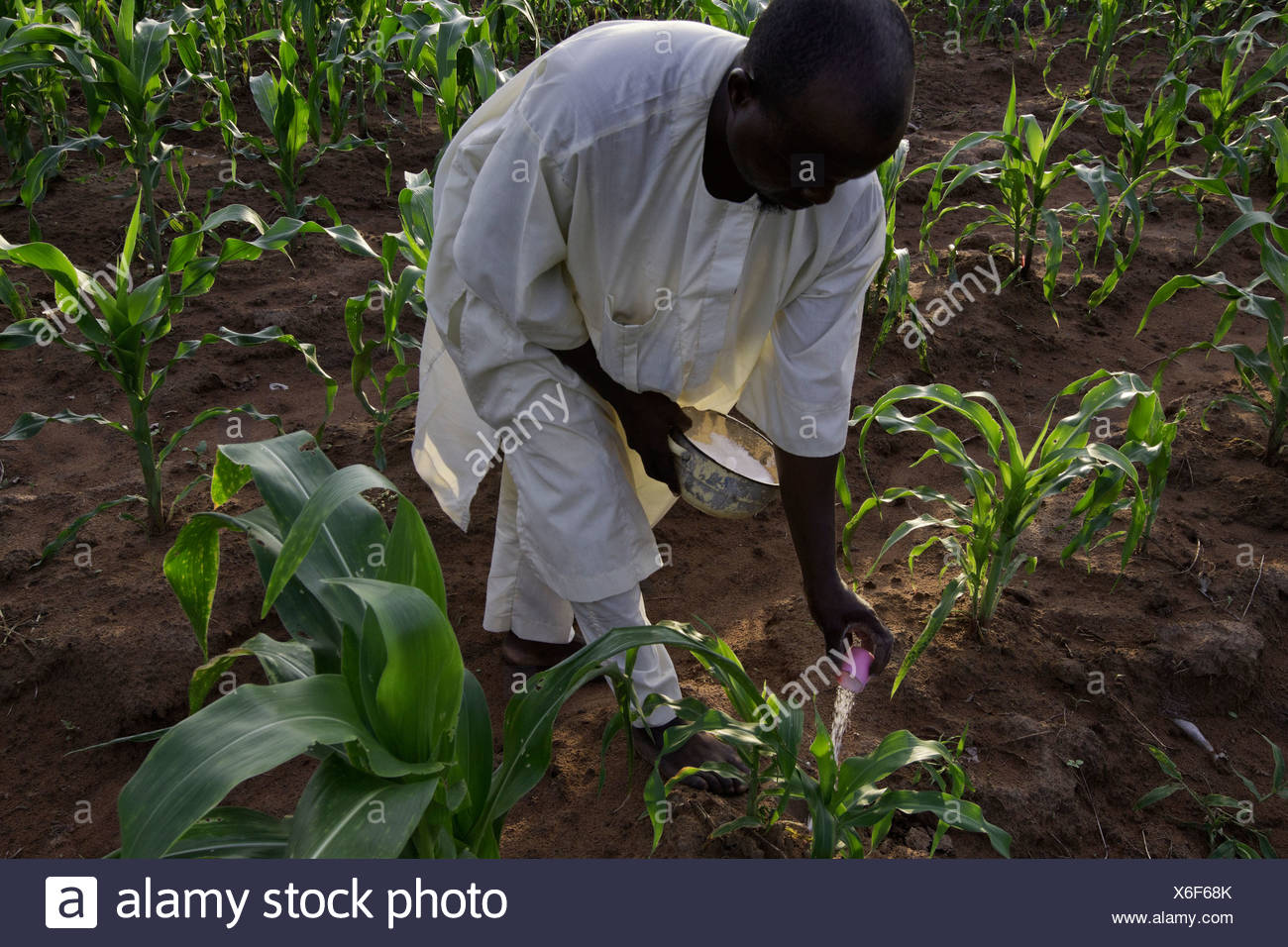 Small farmer puts on a second application of urea to his maize crop in Ibbi, Nigeria - Stock Image