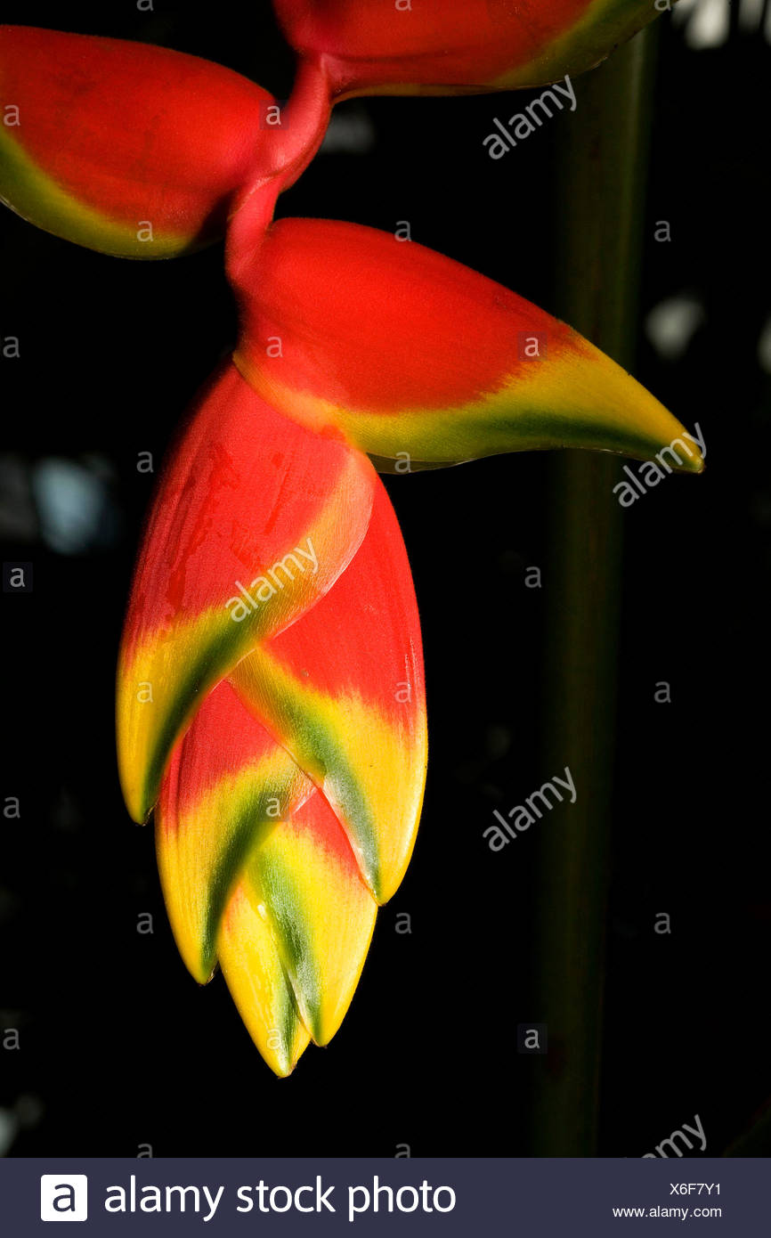 Lobster claw or false-bird-of-paradise, Heliconia rostrata, flower. - Stock Image