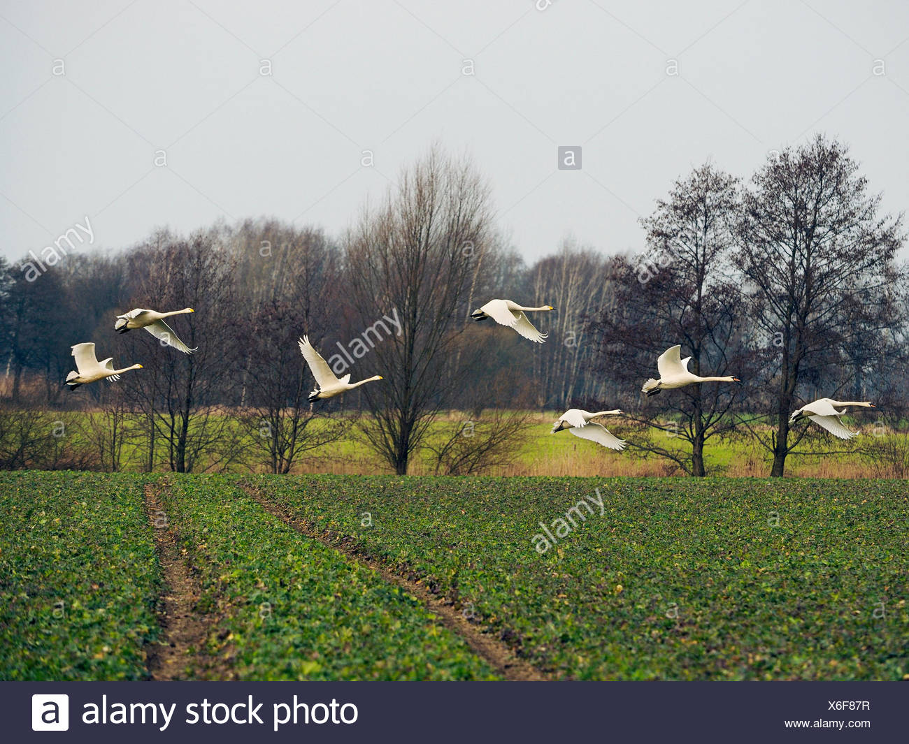 Singschwan, Sing-Schwan (Cygnus cygnus), fliegende Sing-und Hoeckerschwaene, Deutschland, Sachsen, Obere Lausitz | whooper swan  Stock Photo