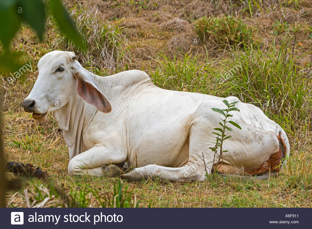 Zebu, Humped Cattle, Indicus Cattle (Bos primigenius indicus, Bos indicus), ruminating in a meadow, Costa Rica, Jaco - Stock Image