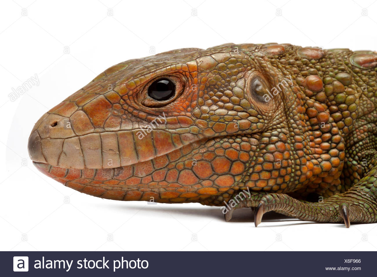 Portrait of Guyana Caiman Lizard on white background Native to South America - Stock Image