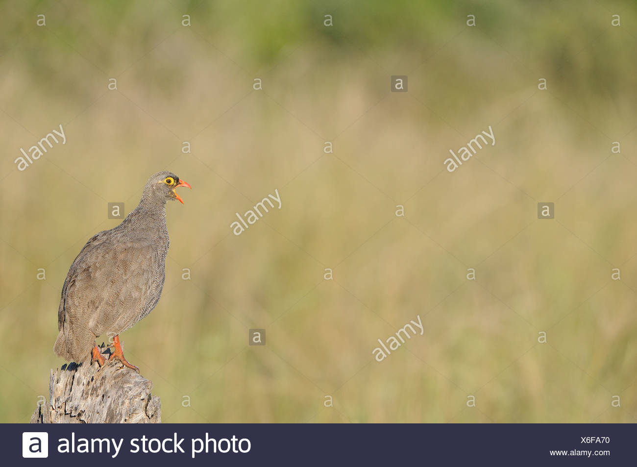 Partridge (Phasianidae) calling, Mapungubwe Game Reserve, Limpopo Province, South Africa Stock Photo