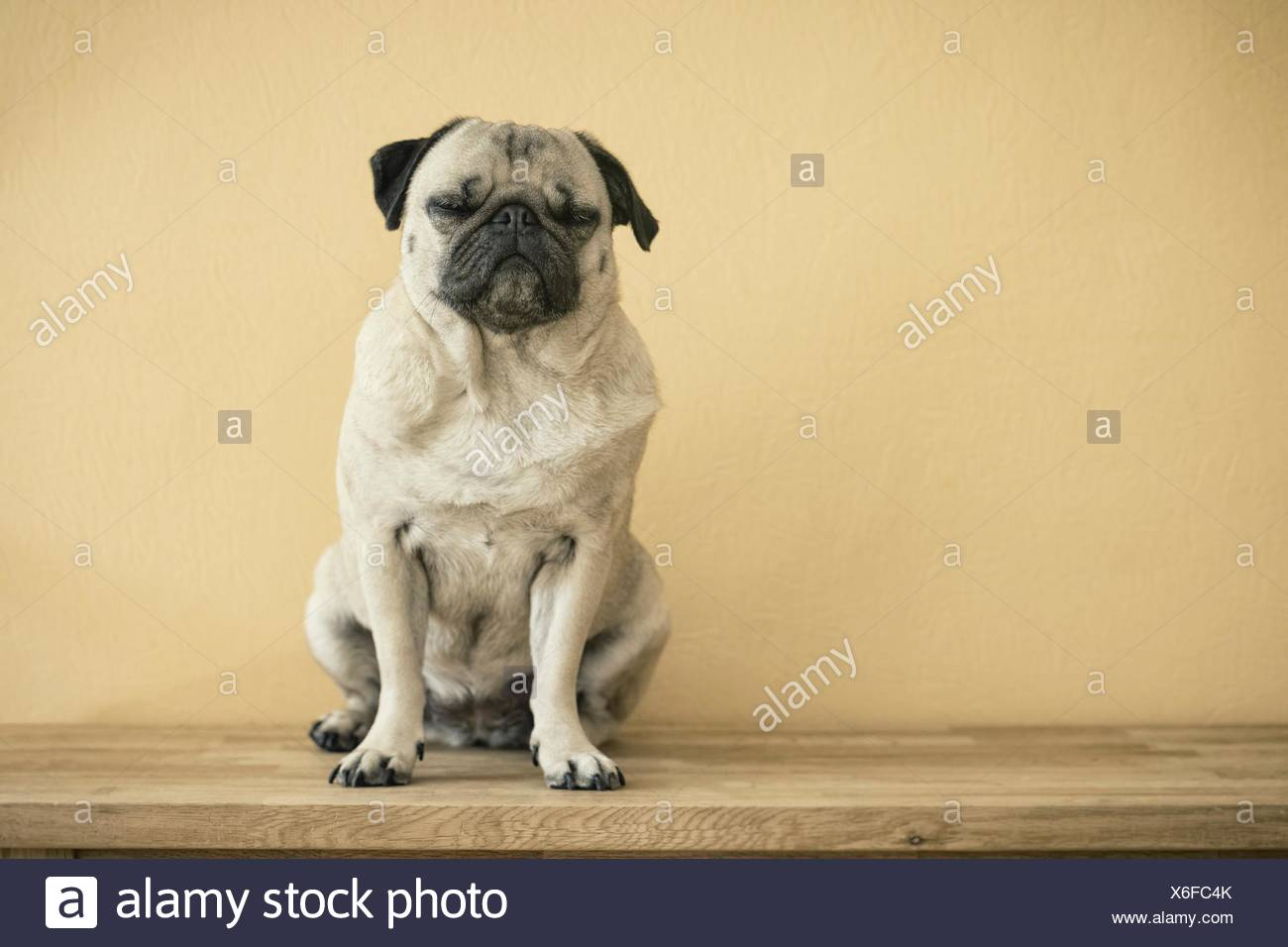 Pug dog sitting with closed eyes on a wooden bench - Stock Image