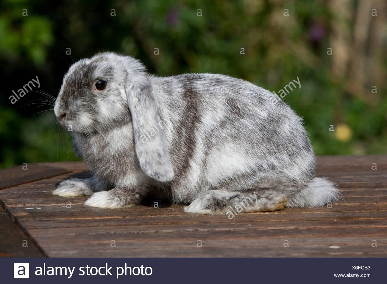 English Lop, rabbit breed - Stock Image
